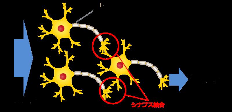 人間のニューラルネットワーク